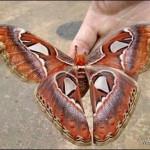 самая красивая бабочка